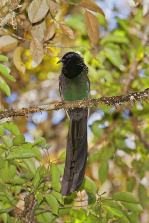 A Male Arfak Astrapia Bird of Paradise Perches on a Tree Branch