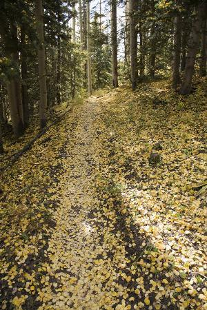 Aspen Trees and Trail Tread in Autumn Along the Deep Creek Trail