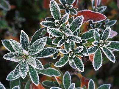 Frosted Leaves, Winter, Close-Up