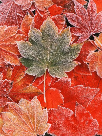 Frozen Autumn Leaves Close Up Photographic Print Stuart Westmorland Allposters Com