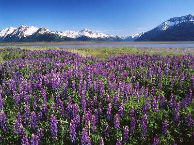 Kenai National Wildlife Refuge, Lupines in Bloom and Kenai Mountains, Alaska, USA
