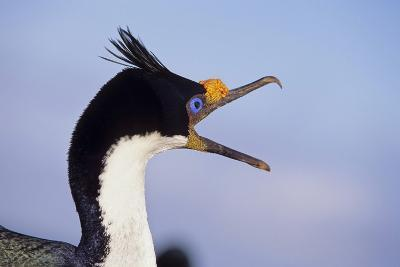 Birds, Imperial Shag / King Shag, Portrait, Falkland Islands, Bleaker Island
