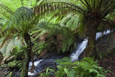 Tree Fern in Melba Gully, Great Otway Np, Victoria, Australia