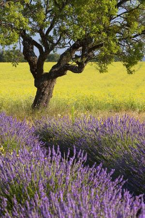 Lone Tree, Lavender and Mustard Fields Near Valensole, Provence, France