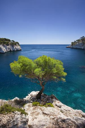 Lone Pine Tree Growing Out of Solid Rock, Calanques Near Cassis, Provence, France