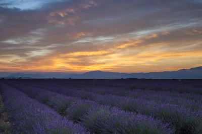 Lavender Field Just before Dawn Near Valensole, Provence, France