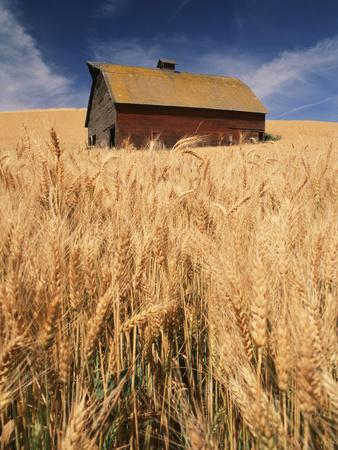 View of Barn Surrounded with Wheat Field, Palouse, Washington State, USA