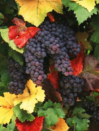 View of Pinot Noir Grape, Willamette Valley, Oregon, USA