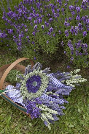 Wrapped Bouquets of Dried Lavender at Lavender Festival, Sequim, Washington, USA