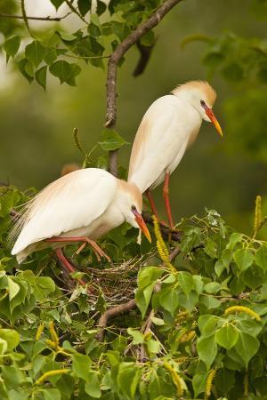Cattle Egrets Bird Nest Building, Jefferson Island, Louisiana, USA