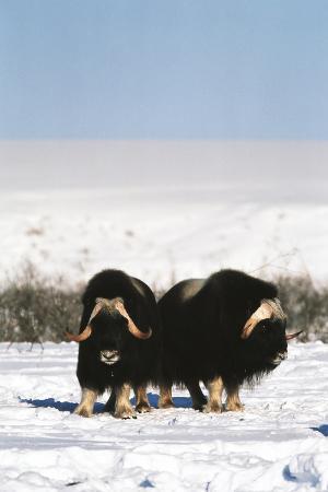 Musk Ox Bull Wildlife, Arctic National Wildlife Refuge, Alaska, USA