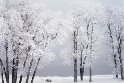 Beach, Hoar Frost on Cottonwoods During Winter, Bear Lake, Rendezvous, Utah, USA