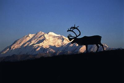 Caribou Wildlife, Mt McKinley, Denali National Park and Preserve, Alaska, USA