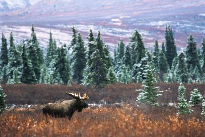 Bull Moose Wildlife, Denali National Park and Preserve, Alaska, USA
