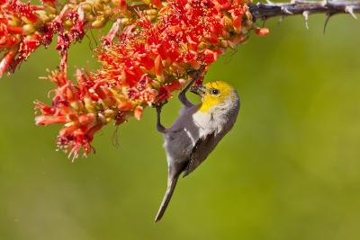 Verdin Feeding on Ocotillo Blossoms, Sabino Canyon, Sonoran Desert, Arizona, USA