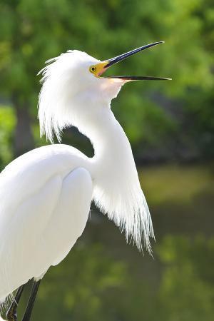 Snowy Egret Bird, Everglades, Florida, USA