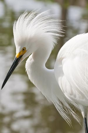 Snowy Egret Bird, Everglades, Florida, USA