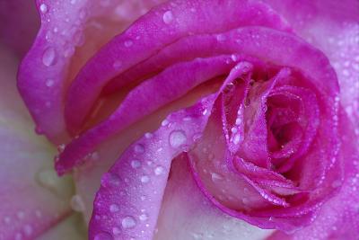 Rose with Dew Drops, Savannah, Georgia, USA
