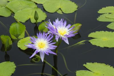 Lily Pond with Water Lilies, New Orleans Botanical Garden, New Orleans, Louisiana, USA