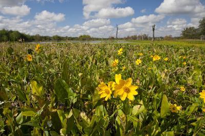 Wetland Sunflowers, Emergent Aquatic Flora, Brazos Bend State Park Marsh, Texas, USA