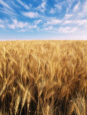 Wheat Field, Oregon, USA