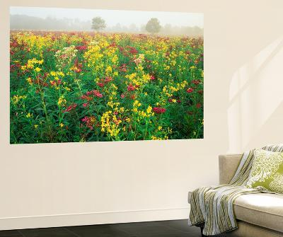 Late Summer Field of Ironweed, Sneezeweed and Yarrow Flower, Kentucky, USA
