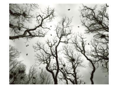 Crow Rookery