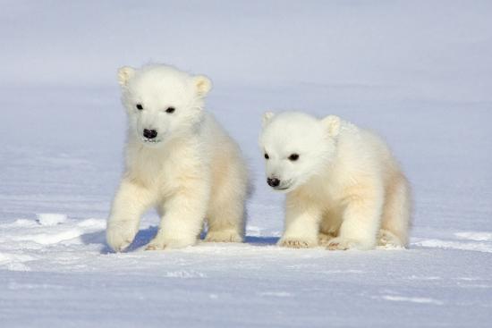 Polar Bear Twins Photographic Print By Howard Ruby At