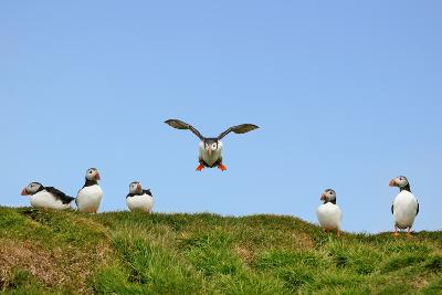 Puffin Wwii Flying Ace