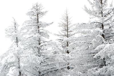 Snow-Laden Trees