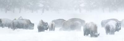 Bisons in Blizzard