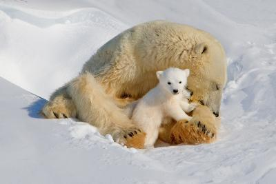 Polar Bear Mom an Cub