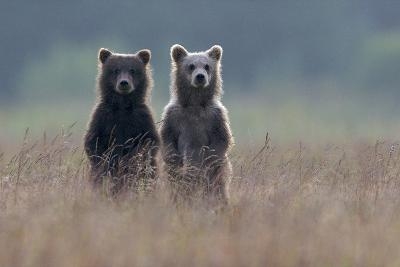 Two Brown Bear Spring Cubs Standing Side-by-side in Curiosity