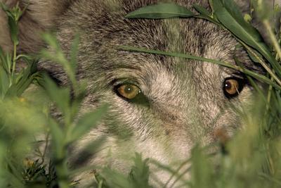 A Gray Wolf Peering Through Vegetation