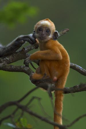 A Baby White-headed Langur, Trachypithecus Leucocephalus, in a Tree
