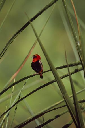 A Male Red Bishop Bird, Euplectes Orix, Perched On a Sedge, Calling