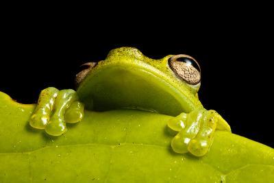 A Treefrog, Hyloscirtus Sp., Peers From Behind a Leaf