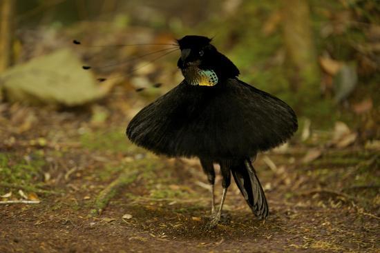 A Male Western Parotia Bird Of Paradise Performs A