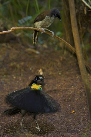 A Western Parotia Bird of Paradise Male Displays for a Female