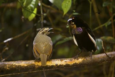 A Male Carola's Parotia Displays to a Female At His Display Court