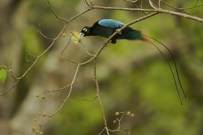 A Male Blue Bird of Paradise Foraging
