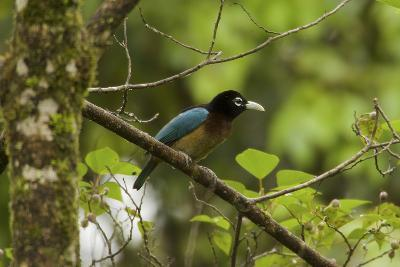 A Female Blue Bird of Paradise Perches On a Tree Branch