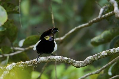 A Male Bronze Parotia Bird of Paradise in the Foja Mountains