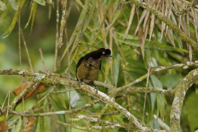 A Young Male Bronze Parotia Bird of Paradise in the Foja Mountains