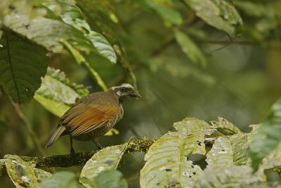 A Female Bronze Parotia Bird of Paradise in the Foja Mountains