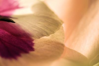 Close Up of a Pansy