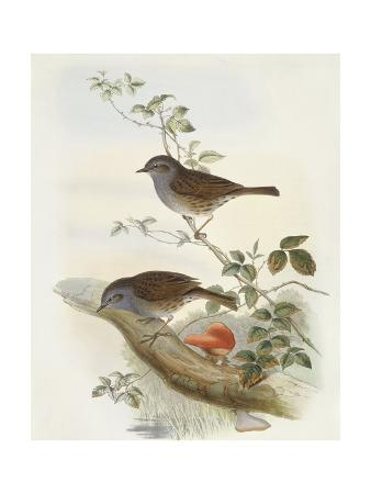Hedge Accentor (Prunella Modularis), Engraving by John Gould