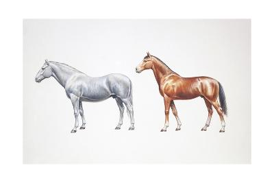Standard Bred Horse and American Standardbred (Equus Caballus), Illustration