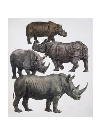 Various Animals of the Rhinoceros Family