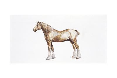 Clydesdale Horse (Equus Caballus), Illustration
